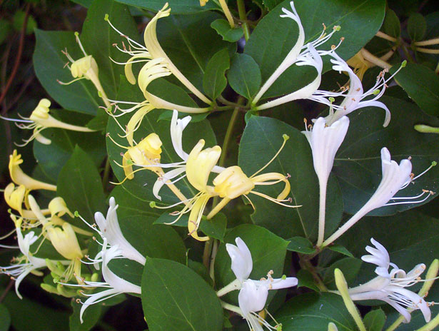 honeysuckle-blossoms